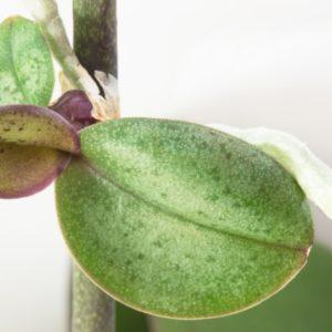 Как правильно отсадить детку орхидеи фаленопсис