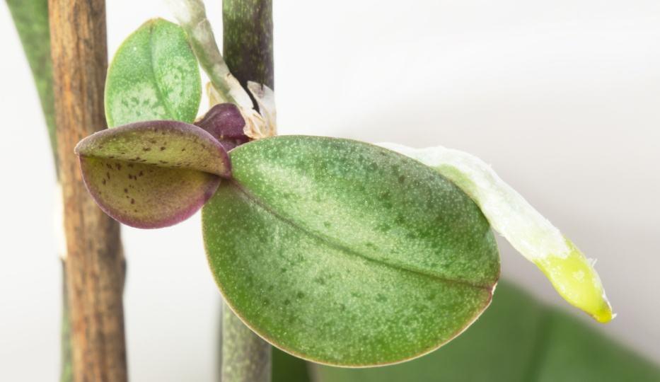 Как отсадить детку у орхидеи на ветке