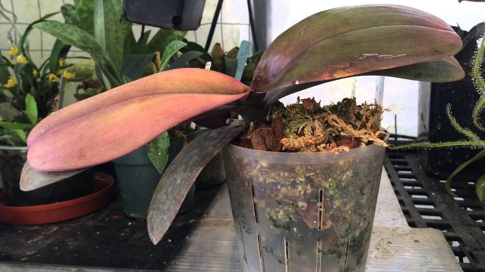 Сгнили корни у орхидеи реанимация