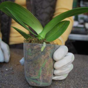 Адаптация азиатских орхидей – просто о вроде бы сложном
