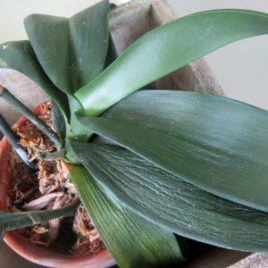 У орхидеи вянут листья: основные причины и способы их устранения