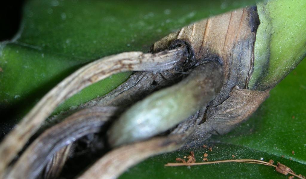 Основные болезни орхидей Фаленопсис и эффективные способы их лечения