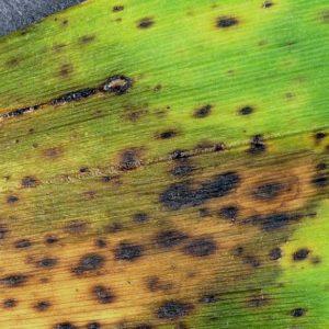 Пятнистость листьев орхидеи: чем вызвана и как лечить