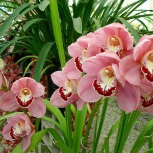 Орхидея цимбидиум – восточный красавец с кротким нравом