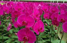 Как определить сезон, когда орхидеи цветут активнее