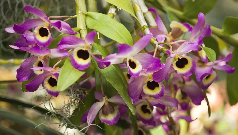 Орхидея Дендробиум нобиле  благородная красавица