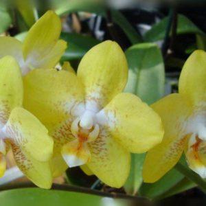 Желтая орхидея – солнечное совершенство на подоконнике