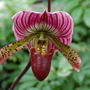 Орхидея пафиопедилум венерин башмачок – строптивая лесная нимфа