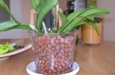 Орхидея в керамзите: эксперимент или еще один метод выращивания?