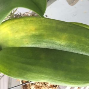У орхидеи желтеют и опадают листья. Причины и методы предотвращения.