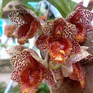 Катасетум и другие орхидеи морковки, или как получить на одном растении совершенно разные цветы