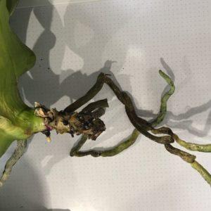 Основные способы наращивания корней у орхидеи
