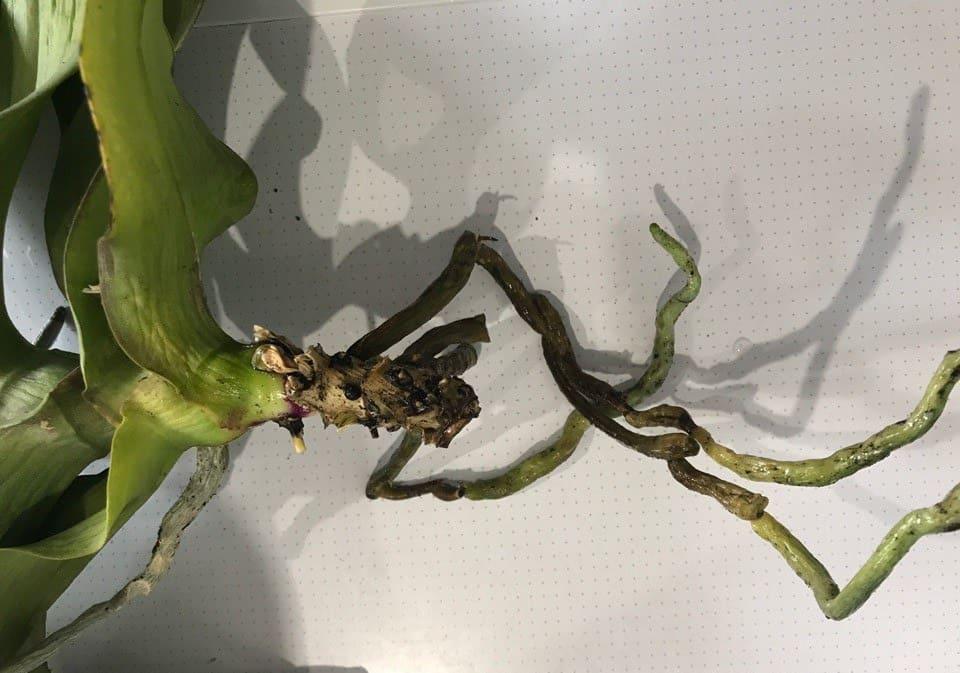 Как укоренить орхидею фаленопсис без корней — Все цветы