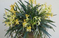 Неофинетия – орхидея ветров