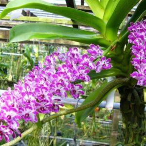 Ринхостилис – очаровательный флегматик орхидного царства