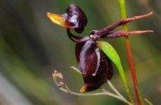 Орхидея калания – взлетающая уточка