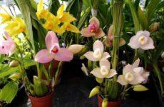 Многоликая ликаста – горная орхидея из Южной Америки
