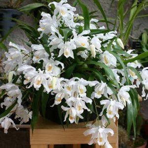 Целогина – орхидея-ожерелье