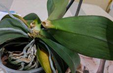 Орхидея без точки роста: простые советы по восстановлению