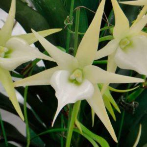 Ангрекум – орхидея-звезда из Африки и Мадагаскара