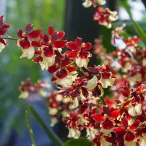 Орхидея онцидиум – танцующая куколка в пышной юбке