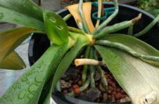 Что делать если орхидея засохла?