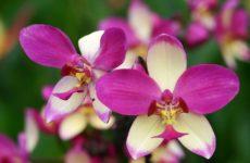 Тонкости ухода за орхидеей сразу после покупки