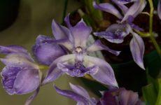 Аганизия – голубая орхидея из побережий Демерары
