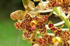 Грамматофиллум – орхидея-гигант в комнатных условиях