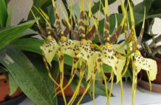 Брассия – орхидея-паук