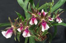 Орхидея зигопеталум – голубой ангел