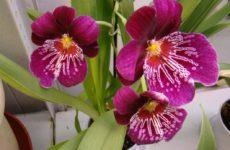 Мильтониопсис – орхидея «анютины глазки» и близкая родственница мильтонии