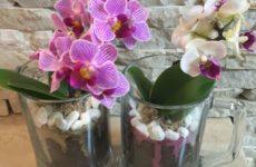 Мини орхидеи фаленопсис: секреты выращивания