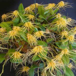 Бульбофиллум – особенности выращивания в домашних условиях