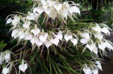 Ароматная орхидея брассавола – изюминка среди комнатных растений