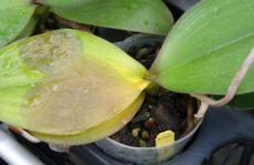 Коричневая, или бактериальная гниль на орхидее: признаки и способы лечения