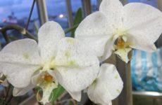 Серая гниль на орхидее – эффективные способы лечения