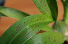 Опасна ли ржавчина на орхидее