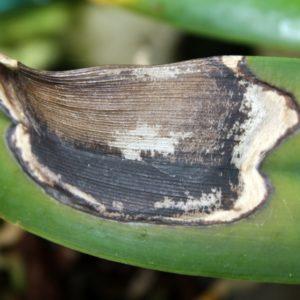 Антракноз орхидеи – как выглядит и чем опасен