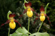 Виды садовых орхидей для выращивания в умеренном климате