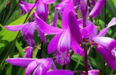 Блетилла  – неприхотливая и простая в выращивании садовая орхидея
