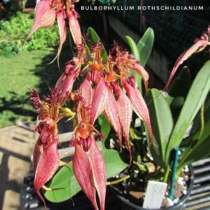 Bulbo. Rothschildianum-01