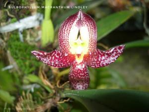 Bulbophyllum Macranthum 1-01