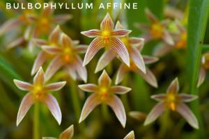 Bulbophyllum affine-01