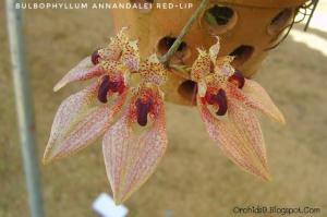 Bulbophyllum annandalei red orchids 1-01