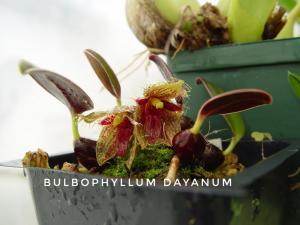 Bulbophyllum dayanum-01