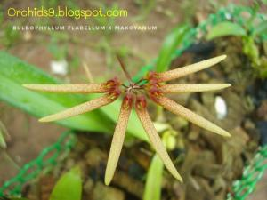 Bulbophyllum flabellum x makoyanum Orchids Pictures 01-01