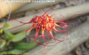 Bulbophyllum gracillimum Orchids Flowers Pictures 93-01