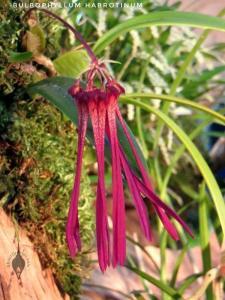 Bulbophyllum habrotinum 800px-01