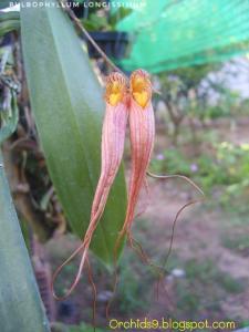 Bulbophyllum longissimum Orchid Flower Picture 192-01